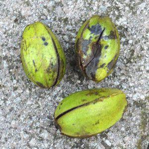damaged pecans