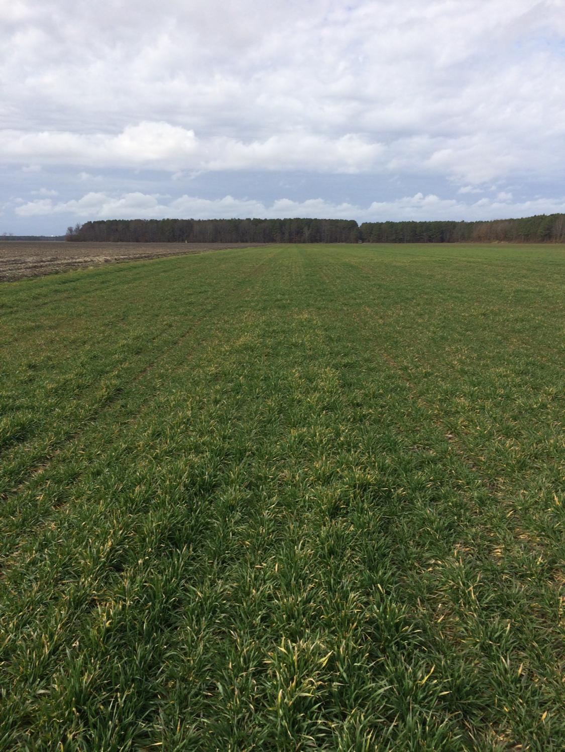 wheat field in February