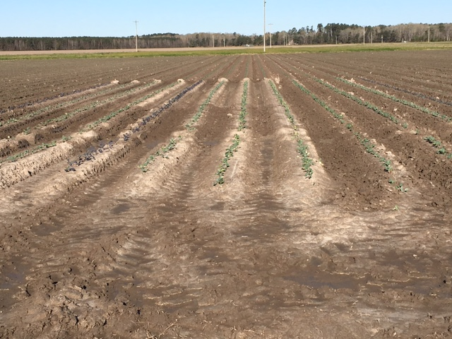 rows of cabbage in variety trial in april