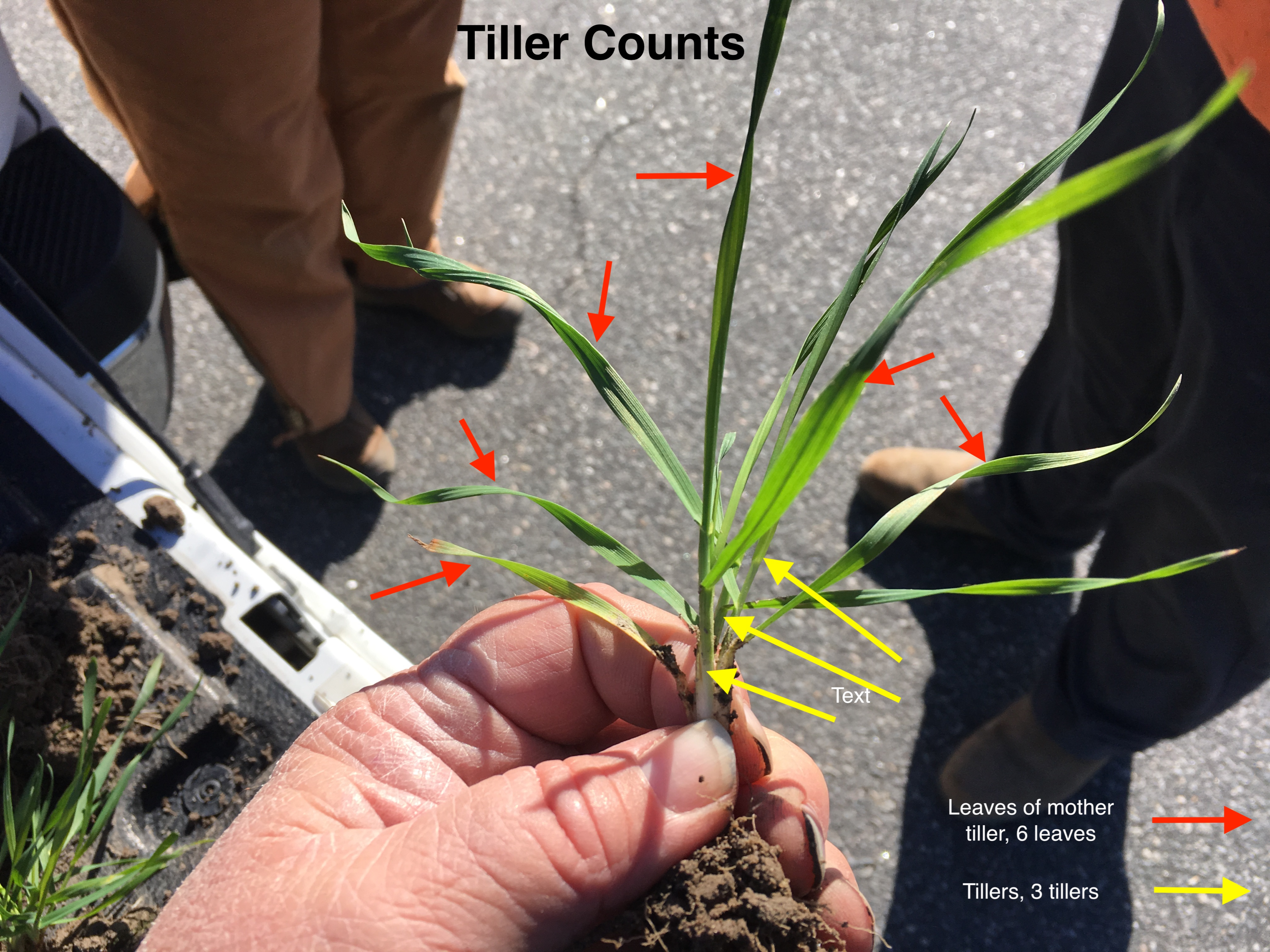 Diagram of wheat plant with regards to counting tillers