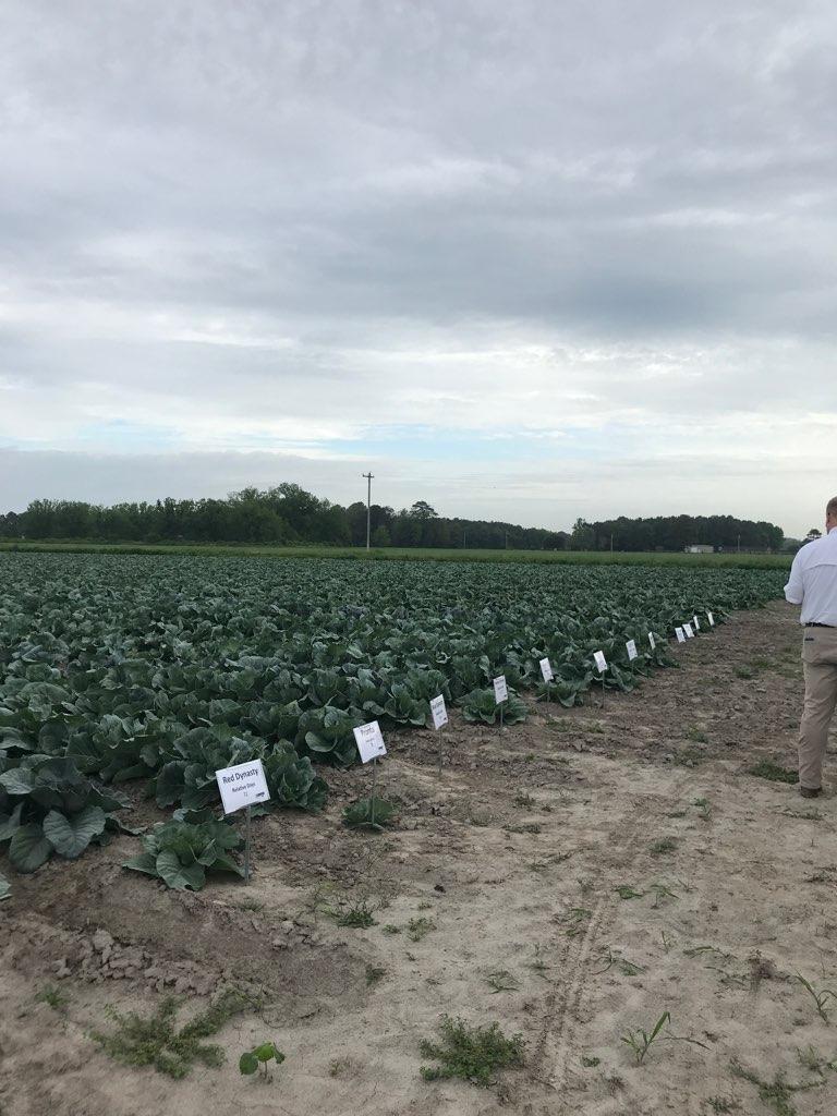Pasquotank Cabbage Variety Trial Showcase image