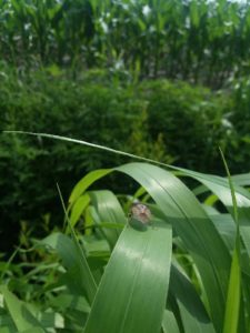 Cover photo for Be on the Watch for Stink Bugs in Corn