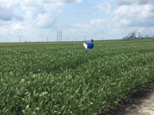Cover photo for Now Is the Time to Take Action With Soybean Insects