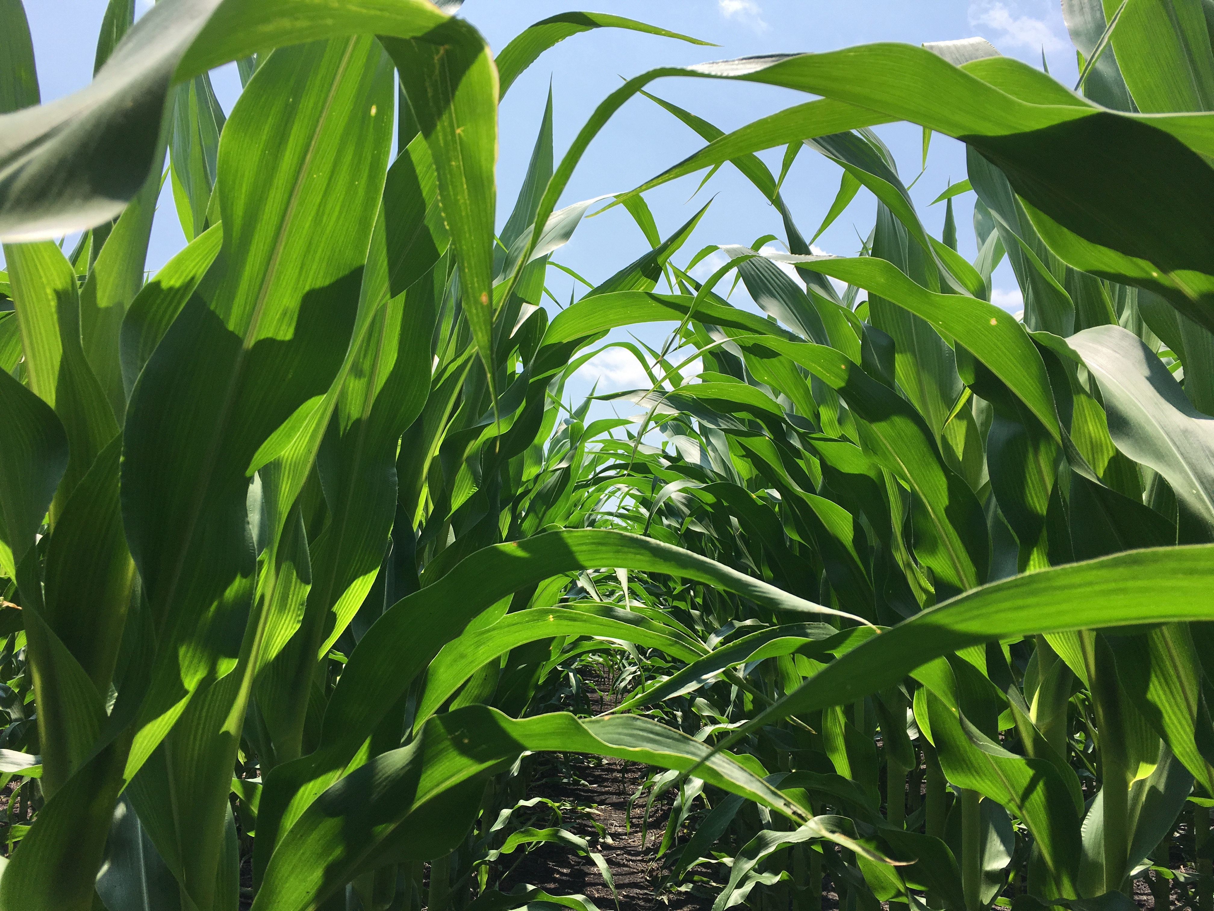 Corn field in northeast North Carolina.